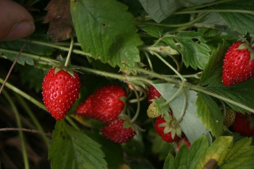 Alpine strawberries on the vine