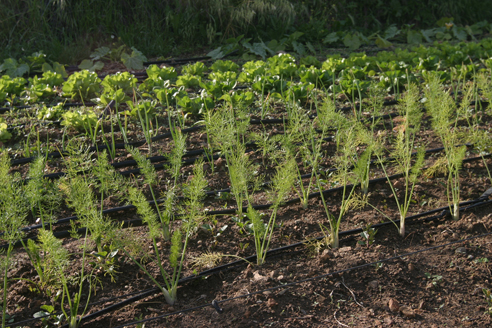 MDM, fennel and crops