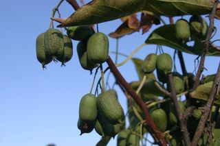 Edible, hardy kiwi